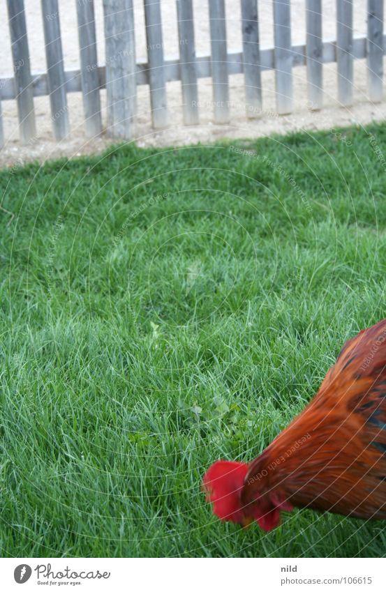 Grass Bird Lawn Farm Egg Fence Barn fowl Rooster