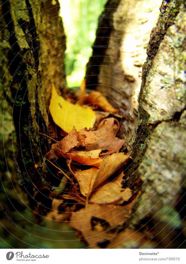 Tree Green Leaf Yellow Autumn Brown Beautiful weather Birch tree