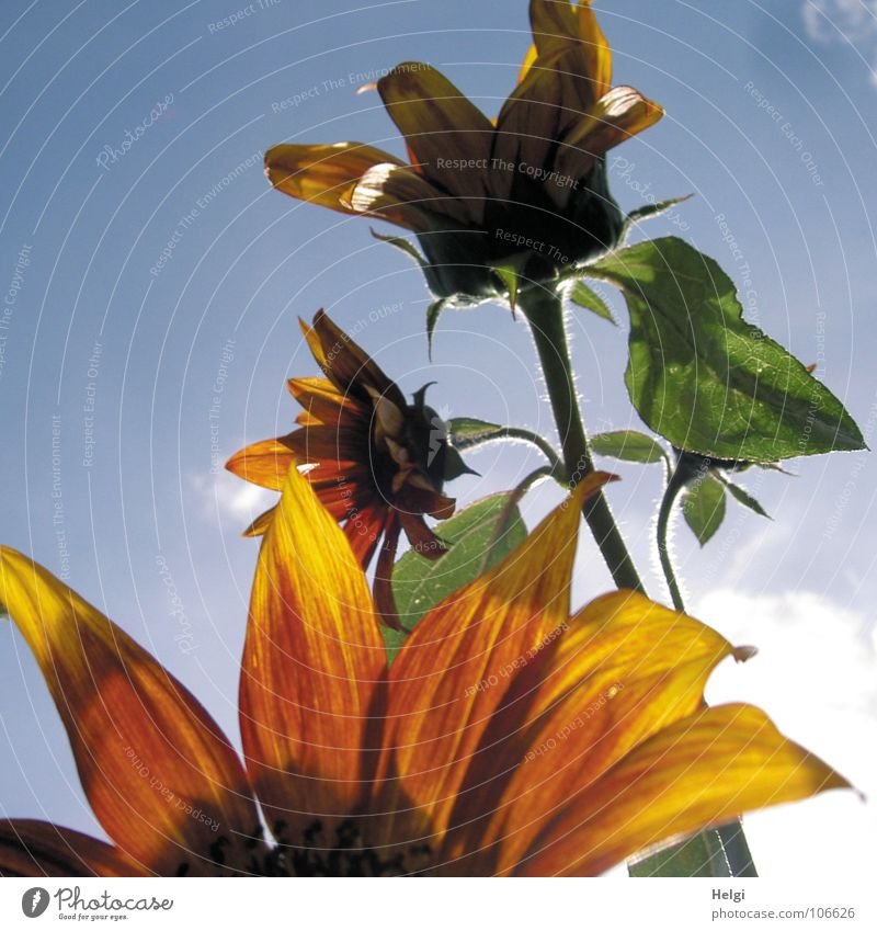 Close up of petals of a sunflower, in the background stem with two flowers in front of a blue sky Flower Blossom Blossom leave Stalk Summer Light Back-light