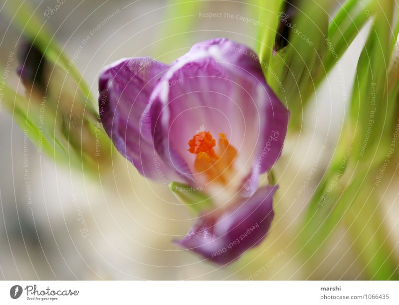 crocus Nature Plant Green Crocus Blossom leave Flowering plant Shallow depth of field Violet Spring fever Colour photo Exterior shot Close-up Detail