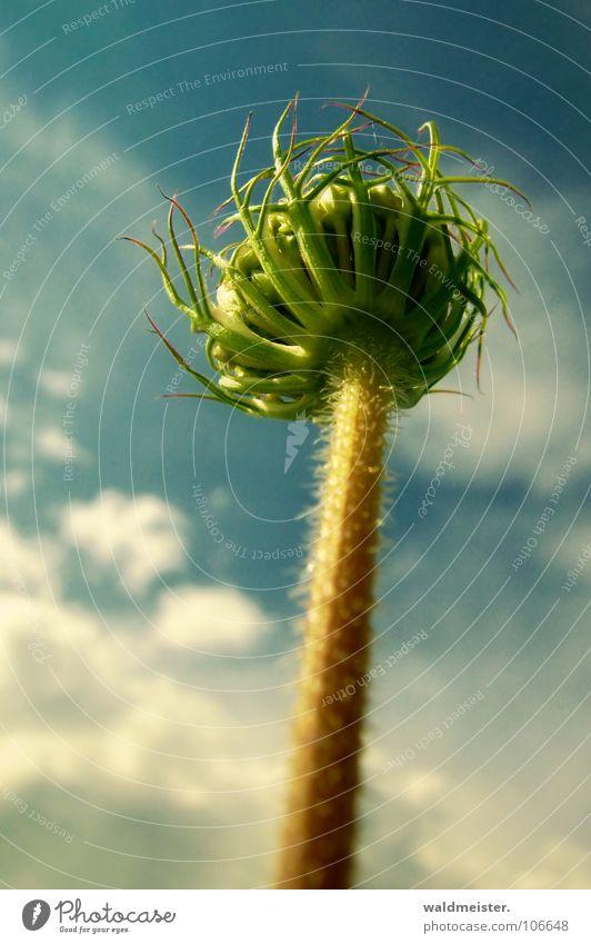 Sky Flower Clouds Tower Stalk Upward Carrot Wild plant Meadow flower Apiaceae Umbellifer Bionic