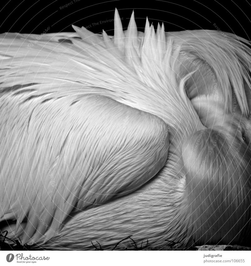 pelican Bird Pelican Web-footed birds Feather Beak Calm Sleep Soft Grief Beautiful Captured Animal Zoo Black & white photo waterfowl Wing Shadow Sadness Elegant