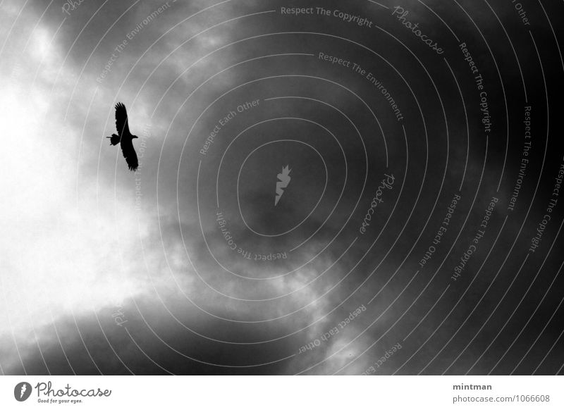 Eagle Clouds Bird Wing 1 Animal Flying Freedom Black & white photo Exterior shot Deserted Day