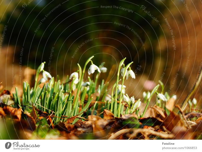 Hello spring! Environment Nature Landscape Plant Spring Beautiful weather Flower Leaf Blossom Garden Park Fresh Bright Near Natural Brown Green White Snowdrop