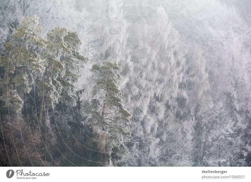 Tree Loneliness Winter Forest Cold Snowfall Ice Frost Frozen Fir tree Freeze Needle Joint residence Edge of the forest Winter forest Winter mood