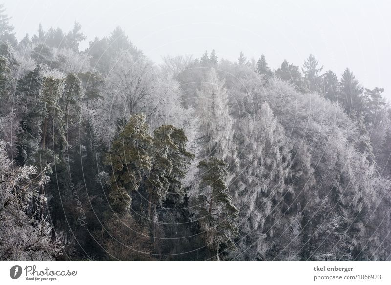 Nature Tree Calm Clouds Winter Forest Cold Snow Ice Snowfall Fog Bushes Frost Fir tree Bad weather Coniferous trees
