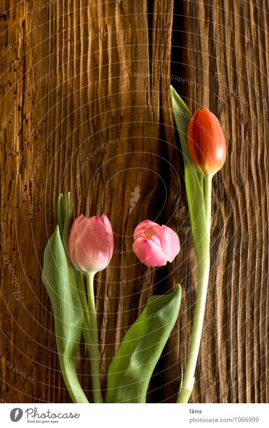 Plant Green Flower Spring Natural Brown Pink Lifestyle Living or residing Blossoming Tulip Spring fever Joist Spring flower