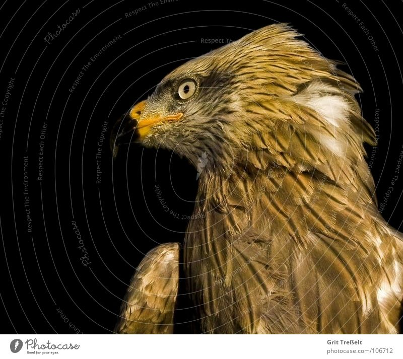 red kite Kite Red kite Zoo Bird Bird Zoo Walsrode Bird of prey Beak Flying Aviation