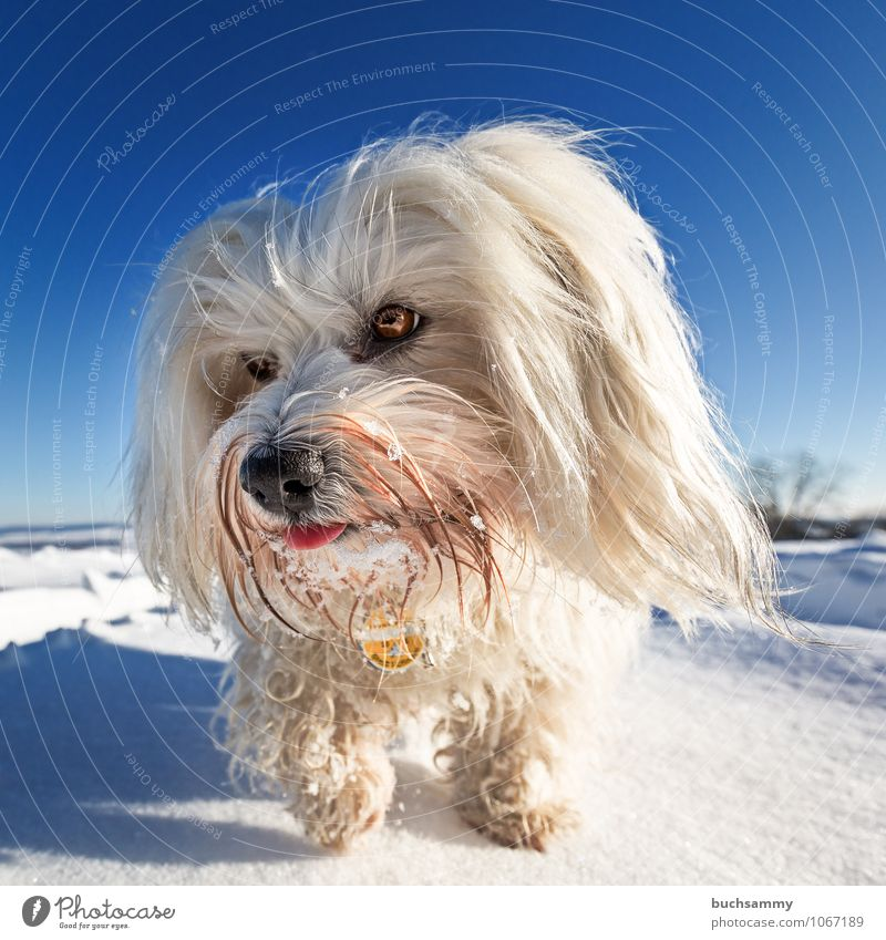 Dog Sky Blue White Landscape Animal Winter Cold Snow Going Germany Weather Europe Beautiful weather Seasons Cloudless sky