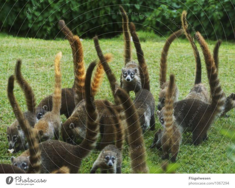 nuisance Vacation & Travel Animal Wild animal Group of animals Feeding Coati Pack Mexico Tails Food envy Pelt Beautiful Colour photo Exterior shot