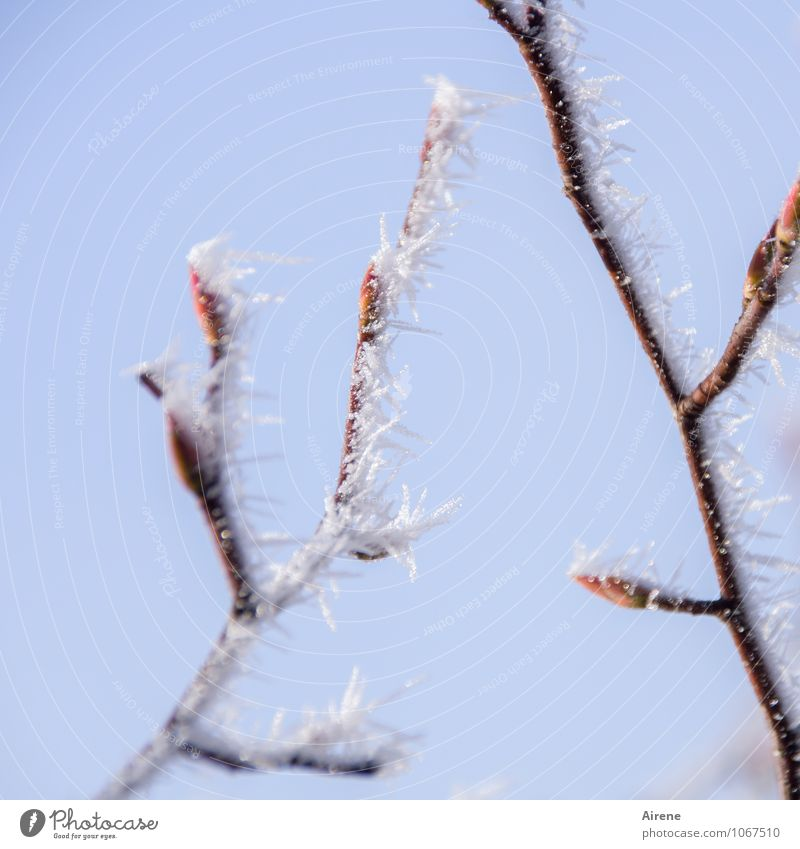 relapse Sky Winter Beautiful weather Ice Frost ice crystals Plant Tree Twigs and branches Leaf bud Bud Ice crystal Snow crystal Point Thorn Freeze Glittering