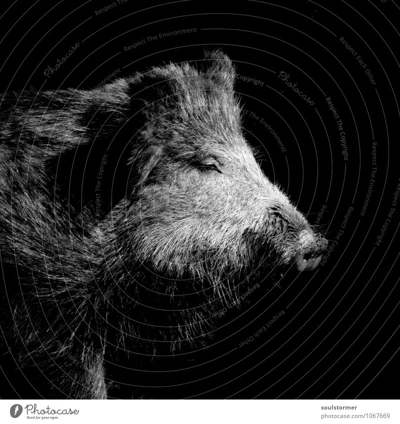 on the eve of a feast... Meat Banquet To feed Wild boar Comic Forest Vension Wild animal Pelt Snout Swine Black & white photo Exterior shot Deserted