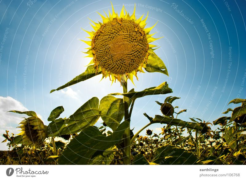 double sun Sunflower Summer Flower Yellow Green Back-light Sublime Positive Clouds Landscape format Braunschweig Field Plant Transience Multiple Deserted