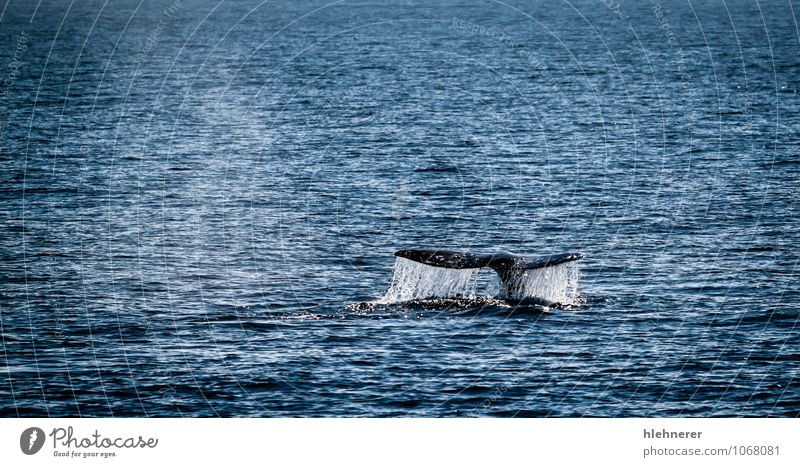 Gray Whale Tail Beautiful Body Ocean Dive Nature Animal Observe Large Wild Ventura Mammal tail water Fin baleen marine Surface baja Pacific Ocean cetacean