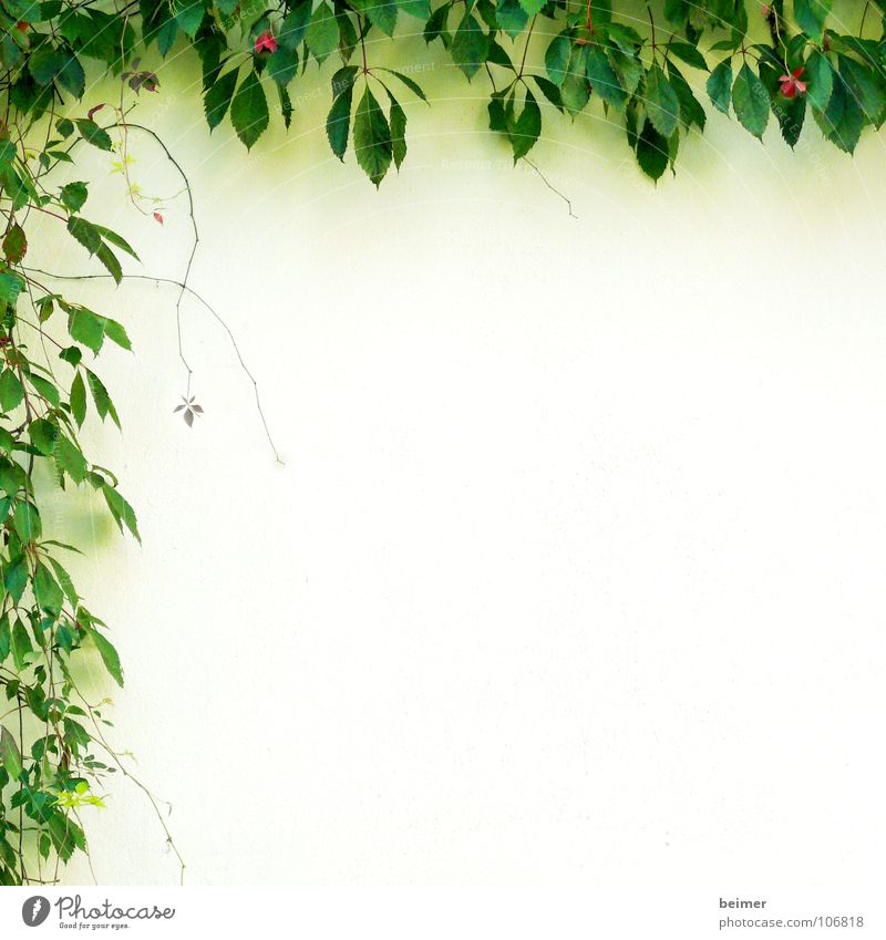 Nature Green Plant Summer Leaf Wall (building) Blossom Background picture Growth Delicate Frame Tendril Bordered Creeper