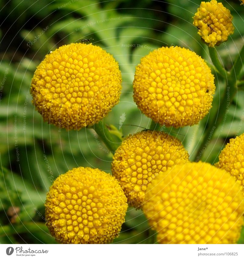 flowerless Yellow Green Flower Plant Round Summer Macro (Extreme close-up) Close-up kamille? no blossoms Pistil Nature Jane