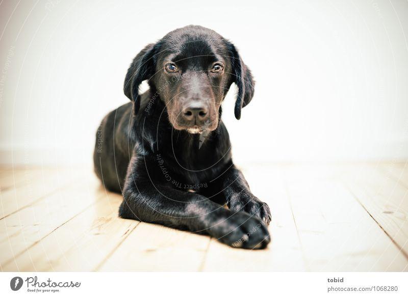 Amy Pt.4 Pet Dog Animal face Pelt 1 Observe Lie Soft Black Labrador Wooden floor Floorboards Bright Colour photo Interior shot Deserted Light Silhouette