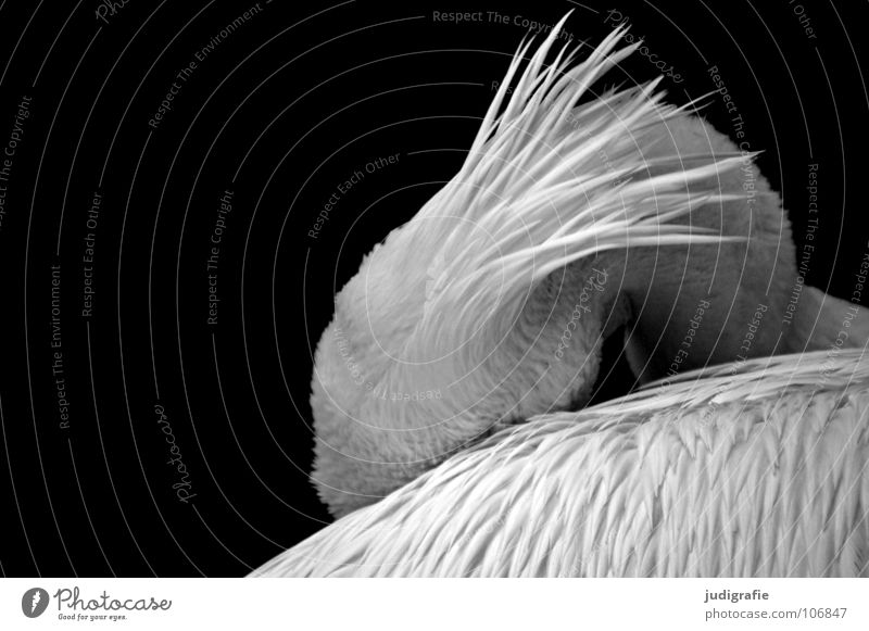 Beautiful Calm Animal Sadness Bird Elegant Sleep Grief Soft Feather Wing Zoo Captured Beak Pelican Web-footed birds
