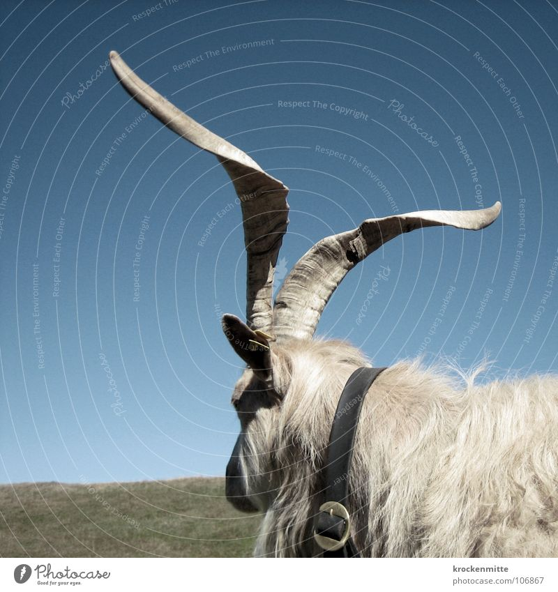 Nature Animal Meadow Horizon Switzerland Farm Mammal Antlers Alpine pasture Goats Neckband Buckle Canton Graubünden Billy goat Alp Flix