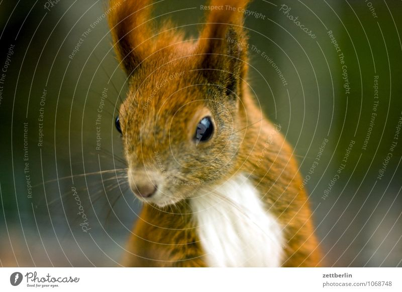 squirrel Squirrel Healthy Eating To feed Face Fur-bearing animal Animal portrait Land-based carnivore Wild animal Forest animal Mammal Eyes