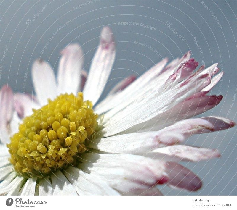 sunbathing Nature Plant Yellow Pink White Daisy Blossom leave Flower Beautiful Colour photo Multicoloured Exterior shot Macro (Extreme close-up) Day