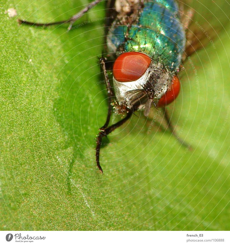 macro-fly Macro (Extreme close-up) Nature Green Blue Red Plant Leaf Animal Legs Fly Sit Threat Animal face Wing Clean