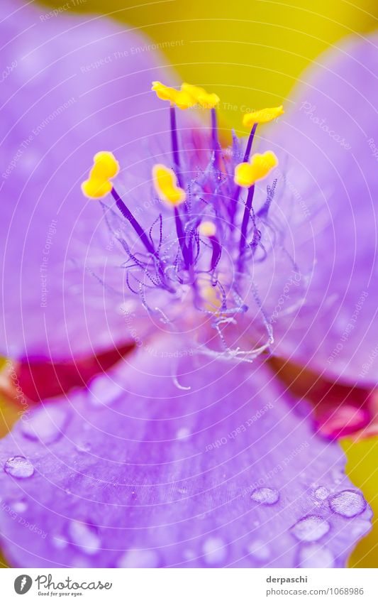 hairy Nature Plant Drops of water Spring Rain Flower Beautiful Wet Yellow Violet Blossom Colour photo Exterior shot Macro (Extreme close-up) Deserted Day Blur
