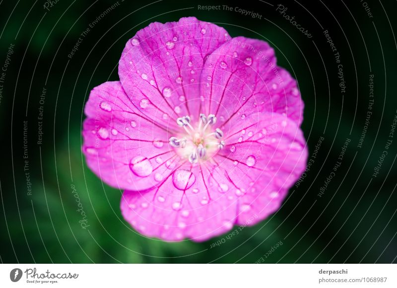 Pink drops Plant Drops of water Spring Rain Flower Blossom Wet Colour photo Exterior shot Macro (Extreme close-up) Deserted Blur Shallow depth of field