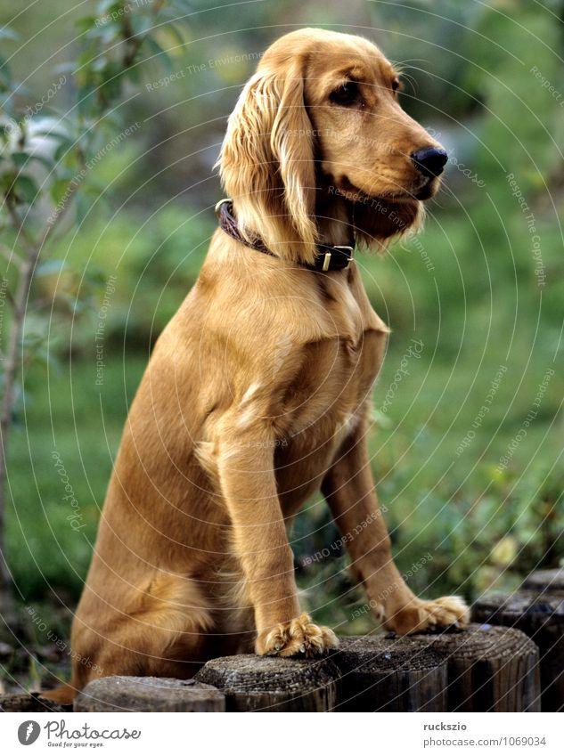 Dog Red Animal Pet Hound Watchdog Purebred dog