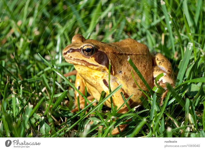 Nature Green Animal Brown Wild animal Authentic Frog Amphibian Frogs Rana Spawn Grass frog Jean-Baptiste Grenouille