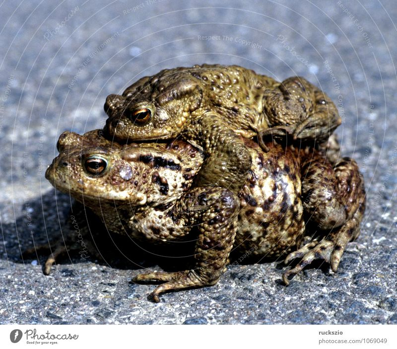 toad, bufo bufo, ground toad, mating Nature Animal Wild animal Frog Free Black White Painted frog Common toad Amphibian frogs Jean-Baptiste Grenouille