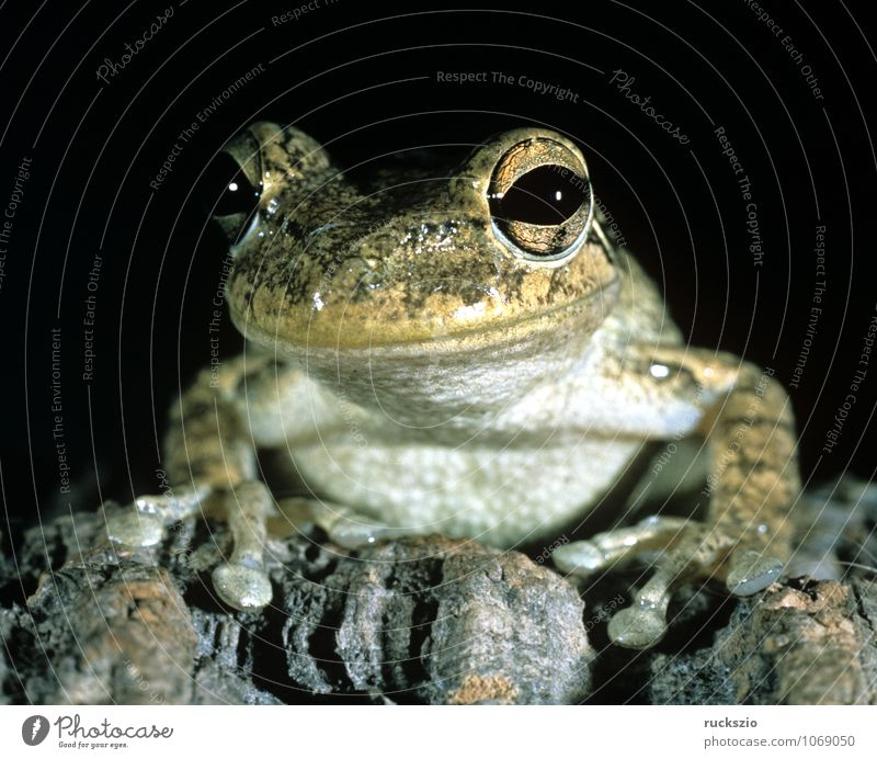 Cubalaub frog, Osteopilus, septentrionalis, Animal Frog Observe Cubanaub frog osteopilus Amphibian Frogs vertebrate Tree frog type of frog Cuba frog