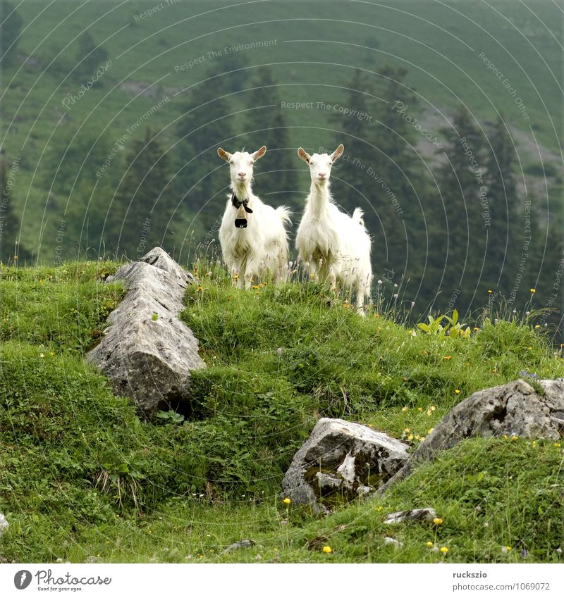 Goats on pasture Milk Mountain Agriculture Forestry Landscape Animal Herd Free Together White Willow tree appenzellerland Rural Alpine pasture exterior