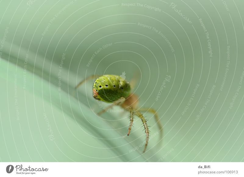 spider Spider Speed Disgust Small Green Environment Transparent Dangerous Fascinating Photomicrograph Insect Animal Grand Macro (Extreme close-up)