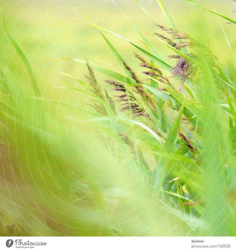 green stuff Grass Green Blade of grass Blur Meadow Summer Soft Wind Beach dune Nature