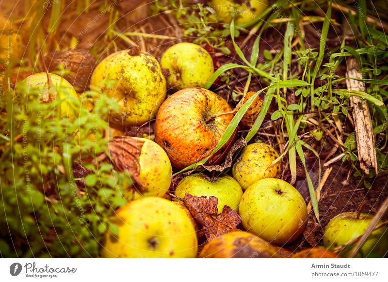 windfall Food Fruit Apple Windfall Nutrition Healthy Environment Nature Earth Autumn Grass Old To dry up Authentic Fragrance Dark Simple Fresh Natural Juicy