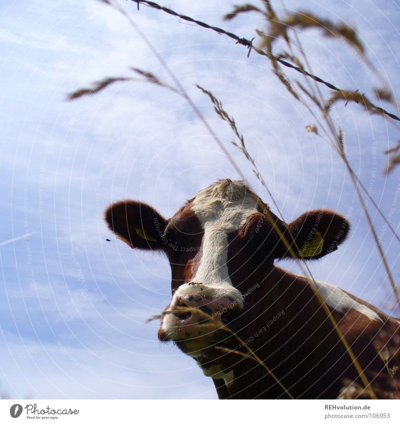 ... at a picnic! Cow Grass Spotted mountain cattle Livestock Animal Moo Brown Barbed wire Mammal Dappled Farm animal Sky Muzzle Looking Looking into the camera