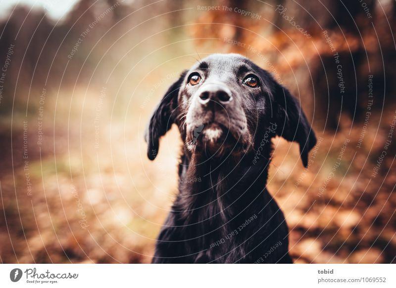 amy Nature Beautiful weather Tree Forest Pet Dog Animal face Pelt Labrador Ear Snout Whisker Eyes Puppydog eyes Observe Glittering Sit Black Loyal