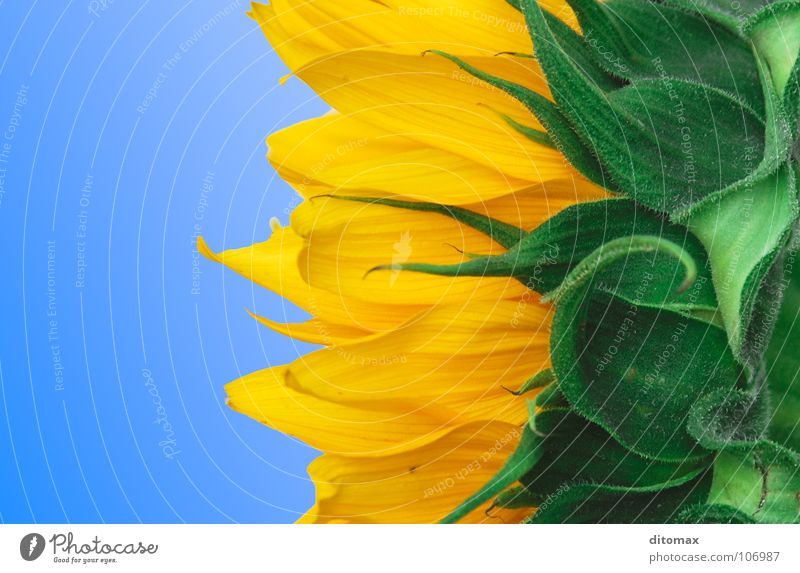 3 colors sunflower Sky Yellow Macro (Extreme close-up) Sunflower Flower Blossom Plant Green Sky blue Gradation Division Tricolour Play of colours Blossom leave