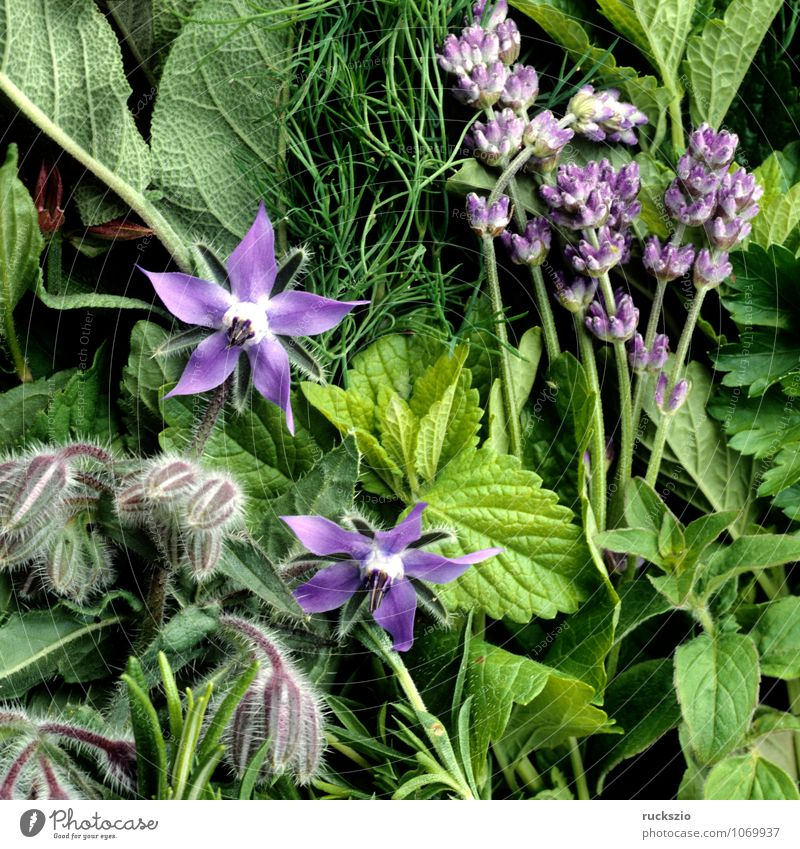 kitchen herbs Herbs and spices Healthy Health care Alternative medicine Medication Nature Plant Balcony Terrace Fragrance Blue Green Mixed Borage Dill Fennel