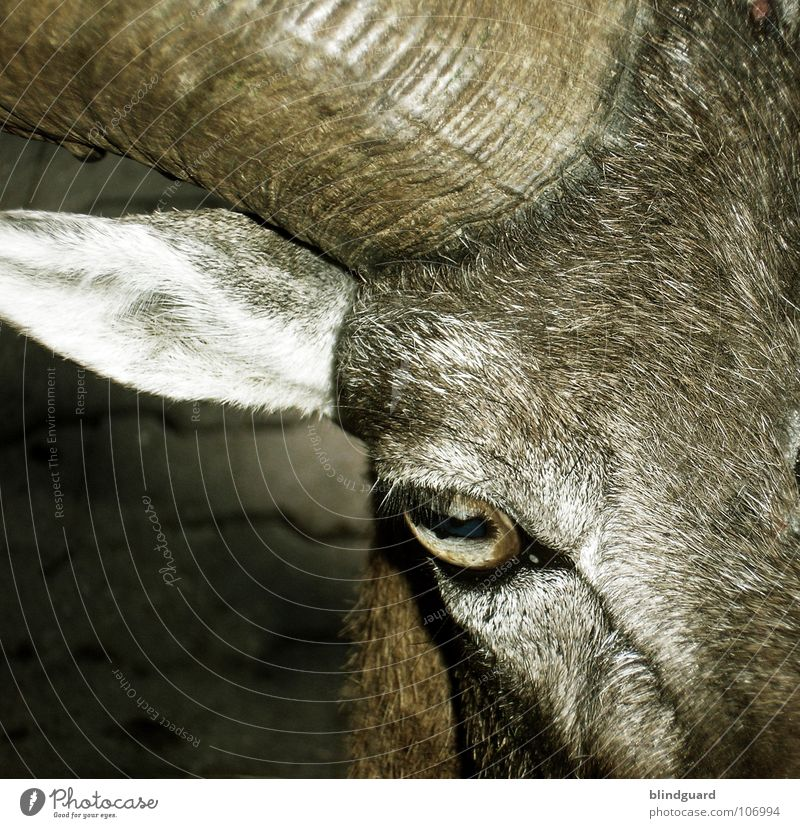 Am I Evil Goats Pelt Devil Brown Gray Farm animal Popular belief Agriculture Animal Ecological Transform Buck Looking Macro (Extreme close-up) Close-up Mammal