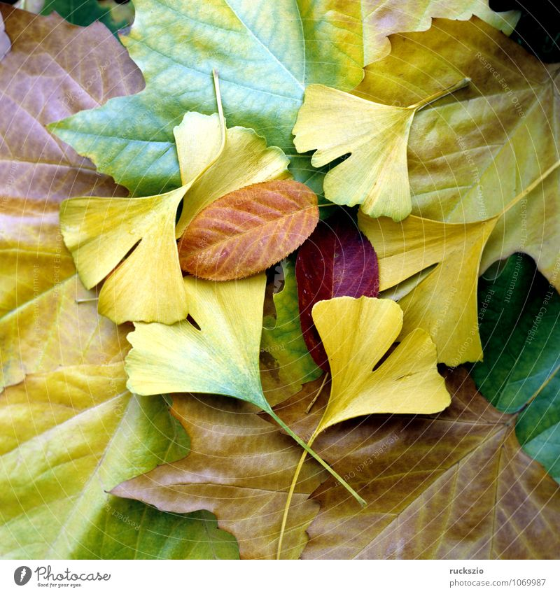 Colourful autumn leaves, Nature Plant Autumn Leaf Illuminate Wild Multicoloured Yellow Red Autumn leaves autumn impression Autumnal colours Maple leaf Ginko