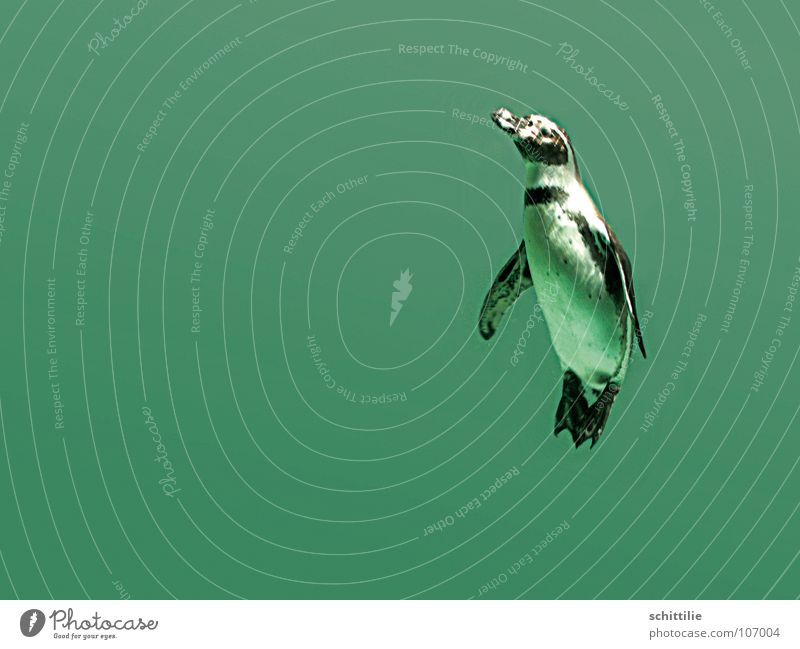 penguin Penguin Green Damp Animal Dive Wet Bird Ocean Water Above Upward Joy Swimming & Bathing