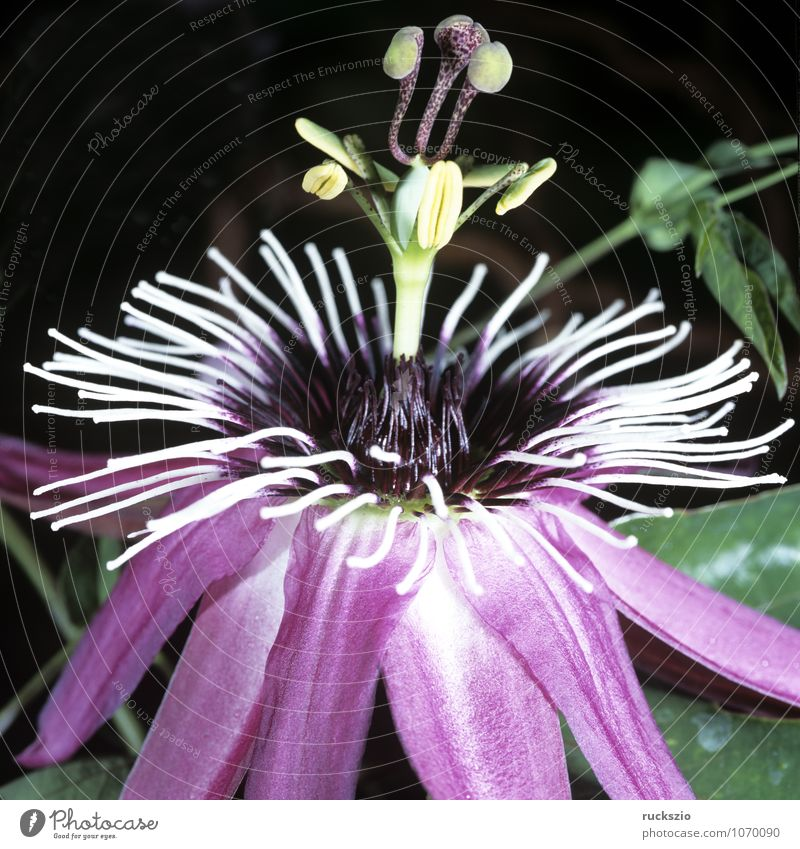 Plant Summer Flower Pink Creeper Passion flower Maracuja Green facade