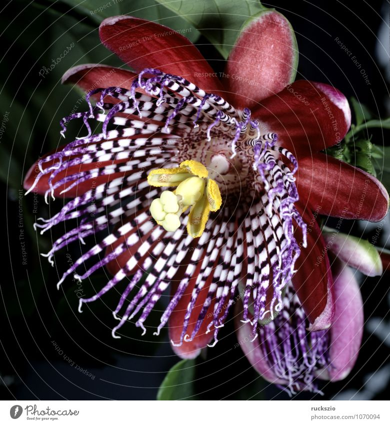Koenigs-Grenadille; Passion flower; Passiflora Medication Nature Plant Flower Pot plant Multicoloured Pink King Grenadilla passivflora quadrangularis Creeper