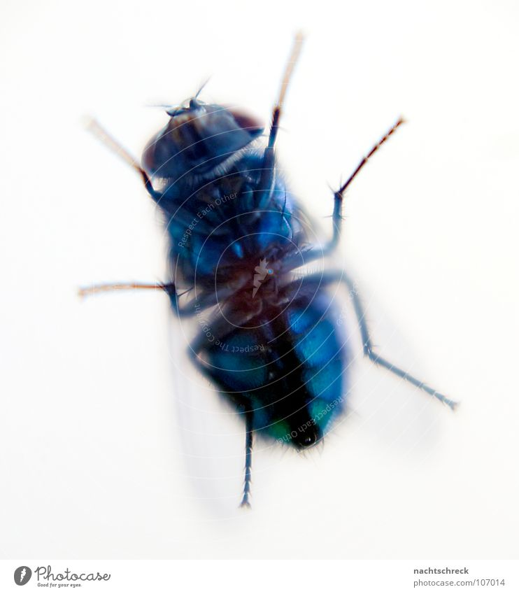Fly at the kitchen window Insect Wild Animal Hymenoptera Wing Stomach Blue Macro (Extreme close-up) Hair and hairstyles Legs Bee Detail