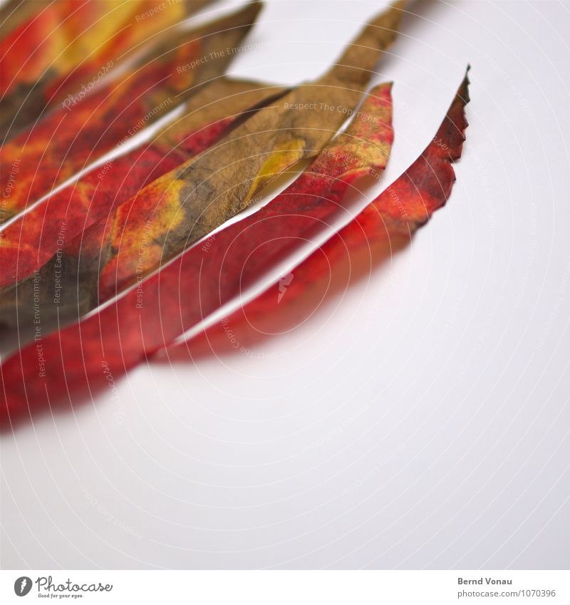 Rest In Pieces Autumn leaves Leaf cut Stripe Multicoloured Nature Point Prongs Red Green Death To fall To dry up Dry Experimental White
