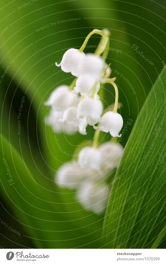 Lily of the Valley Lily of the valley Flower Blossoming Close-up Detail Nature Natural White Plant Deserted