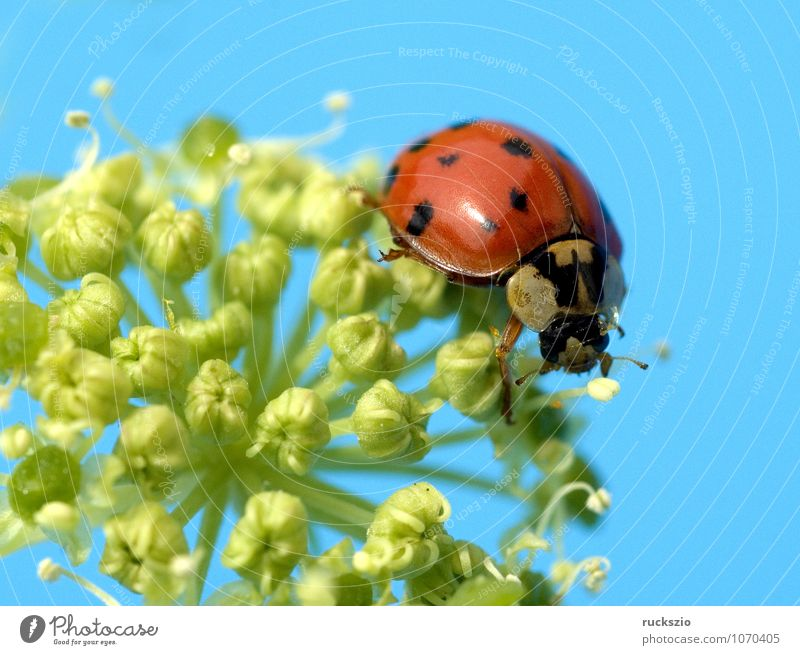 Asian Marienkaefer, Plant Animal Wild animal Beetle Free Yellow Red Black White Ladybird Japan harmonica axyrides Insect 21 points W-shaped neck shield drawing