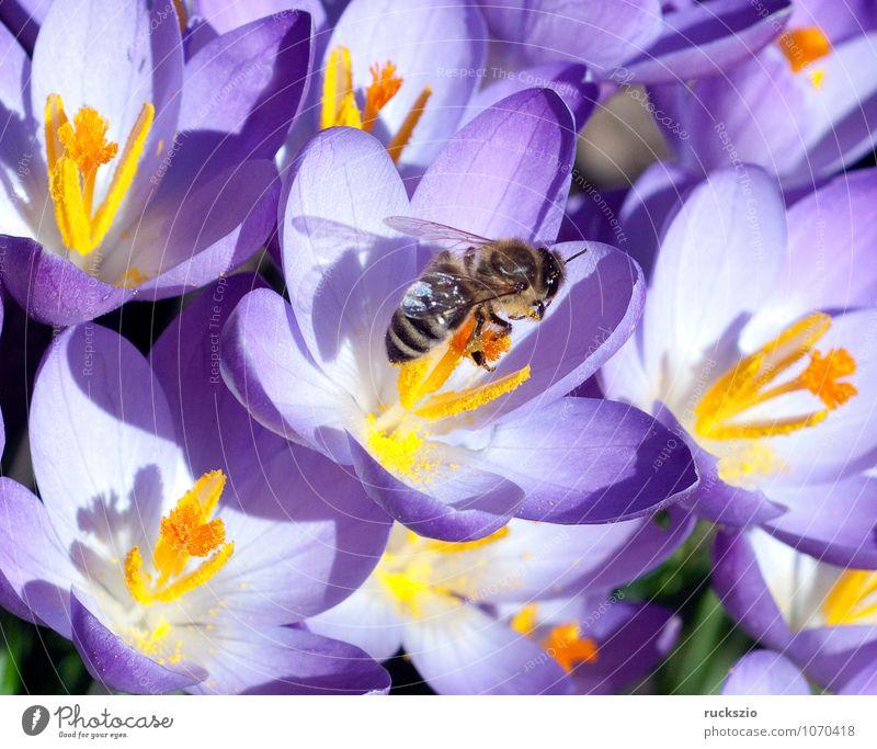 Crocus, bee; Pollenhoeschen; Apis; mellifera; Nature Plant Animal Spring Flower Wild plant Pet Bee Jump pollenhoeze apis Honey bee Insect dusting Stamen Nectar